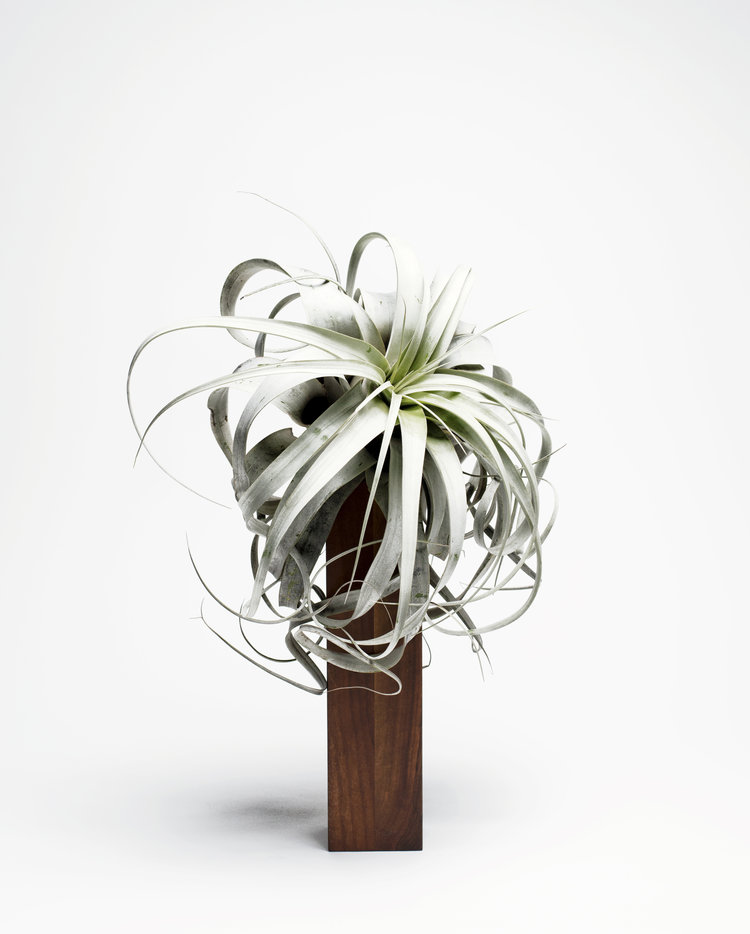 WeSmellTheRain-AIRPLANT-BERTIE-L-739